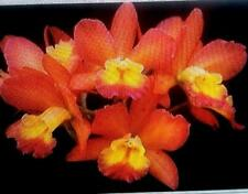 Rlc. Waianae Leopard x Ctna Why Not 'Orange Paradise'. orchid plant