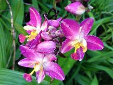 Grapette Purple Ground Orchid Live Plant Fragrant Philippine Terrestrial
