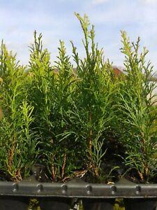 Lebensbaum Thuja occidentalis Smaragd  T.B.6  20-25 cm  300 Stück