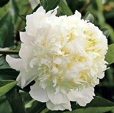 Peony Charlie's White 1 Healthy 3/5 Eye Peony Root Plant  FRAGRANT Rhizome Tuber