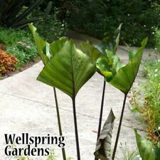 Elephant Ear - Colocasia esculenta 'Tea Cup' Taro Live Plant Unique tropical