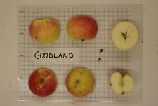 Goodland Extreme Cold Hardy Disease Free Apple Tree northern climates