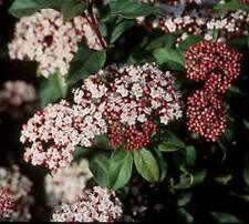 VIBURNUM TINUS hardy full sun/shade hedging flowering plant  in 120mm pot