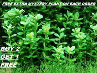 B2G1 Rotala Indica Stems Bunch Easy Live Aquarium Plant planted tank  Beginner