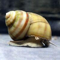 Viviparus viviparus (Common River Snail)
