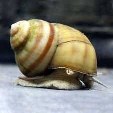 Viviparus viviparus (Common River Snail)