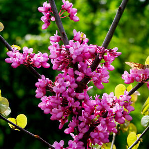 Cercis Canadensis Eastern Redbud Tree, 2-3ft Tall, Pink Blossom