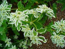 20 semi Euphorbia marginata-Bianco bordo euforbia
