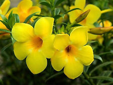 GOLDEN TRUMPET SEEDS ALLAMANDA NERIFOLIA FLOWERING COMPACT SHRUB 10 SEED PACK