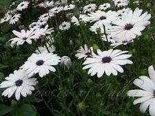 African Daisy (Dimorphotheca Aurantiaca)- white- 100 seeds