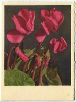 VINTAGE PINK CYCLAMEN FLOWERS SMALL LITHOGRAPH SWITZERLAND COLOR BOTANY PRINT