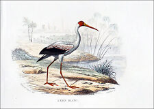 OISEAUX d'EAUX: L'IBIS BLANC et le COURLIS - Gravure couleur du 19° (E. Travié)