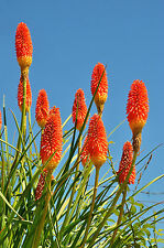 exotische Blüten Rarität Saatgut seltene Garten Balkon Pflanze FACKELLILIE