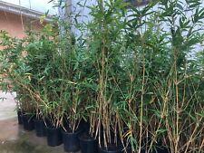 Bamboo,Hedging, Alphonse Karr