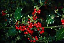 1 gr Semillas Acebo (Ilex Aquifolium) (S)