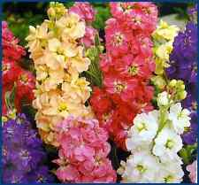 Stock 10 Week Seed Mix Six Colours Scented Annual Matthiola incana cv