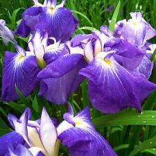 Iris sibirica 'Blue Emperor'