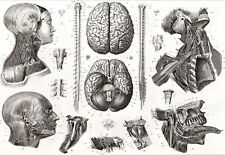 Art Poster Brain and Nerves 1850s Medical Anatomy Print