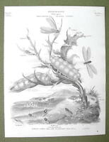 ENTOMOLOGY Insects African White Ant Order Aptera - 1820 ABRAHAM REES Print