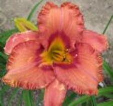 COBALT DAWN❀ Daylily  10 SEEDS  Fans Rebloomer  Perennial Flower
