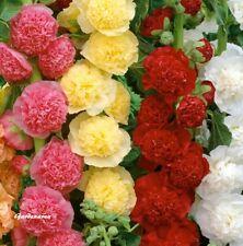 500 Graines Rose trémière Althaea rosea (hollyhock)  Mix flower seeds