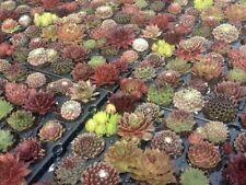 10 x  mixed Sempervivum Rooted Cuttings, Succulent  Houseleek fairy garden's
