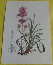 N°37 Poster Botanique Viscaire Vulgaire ou Carnation Jansenists