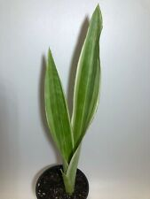 Sansevieria sayiri 4.5� pot Variegated