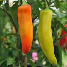 PEPPER SEED, SPICY HUNGARIAN YELLOW WAX, HEIRLOOM, ORGANIC, NON GMO, 20+ SEEDS