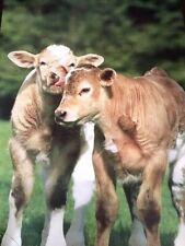 24X36 CUTE 1988 POSTER ANIMALS COWS CALF FARM BY VERKERKE D1