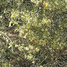 Eremophila oppositifolia cream Moonlight Twin leaf Emu Bush native plant 50mmpot