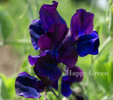 SWEET PEA - ROYAL NAVY BLUE - 35 SEEDS - Lathyrus Odoratus