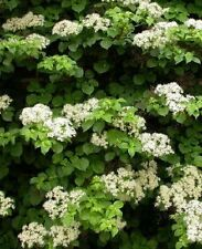 Climbing HYDRANGEA PETIOLARIS 4l Potted Garden Ready Flowering Climber Shade