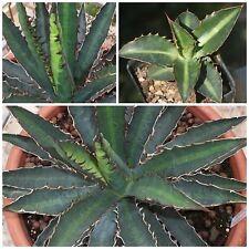 seeds succulents G 50 Samen der agave reginae victoriae