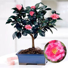 Chinese Green Tea Tree Seed Fresh Camellia Sinensis Garden Bonsai Flower 10pcs