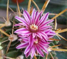 STENOCACTUS Echinofossulocactus crimson flowers cactus plant in 70mm pot