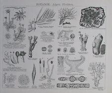 ALGEN FLECHTEN PILZE Botanik 2 Drucke Faksimile Holzschnitt art print