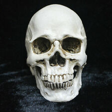 Resin Replica Human Anatomy Head Skull Real Halloween Horror Decor Gift US Stock