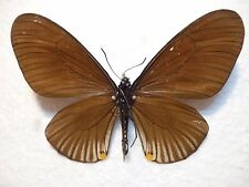 Real Butterfly/Moth/Insect Set/Spread.B2291 Chilasa clytia Female? Mimic 8 cm