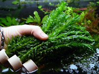 Anacharis Elodea Densa Tropical Live Aquarium Plants Aquatic Pond Bundle Stems
