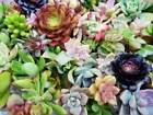 20 Assorted Succulent Cuttings/ 18 Varieties