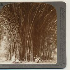 Bamboos in Botanical Gardens Calcutta India Underwood Stereoview 1900