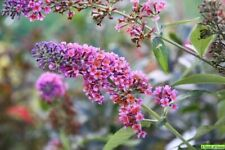 BUDDLEIA 'BICOLOR' - BUTTERFLY  BUSH - STARTER  PLANT - APPROX 7-14 INCH