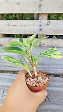 "Beautiful❤️Obtusifolia Variegata❤️Peperomia Baby Rubber Plant❤️Ships In 3"" Pot"