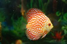 """4"""" Red Checkerboard Discus Live Tropical Fish Healthy Guaranteed."""