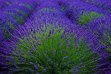 "Lavender flower bloom art photography Provence France 8"" x 10"" print FREE SHIP"
