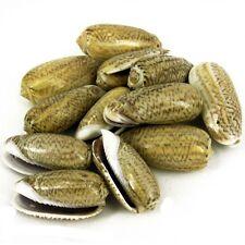 Olive Shells x 10 Drilled Seashells, Sea Shell Beads Jewellery Crafts SH12