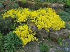 Goldgelbes Felsen Steinkraut  70 Samen Alyssum Saxatile Goldkugel gelbes