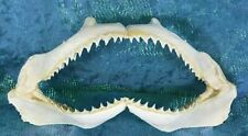 "W27 Taxidermy Common Spinner Shark Jaw teeth Nautical Fish 6-7 1/2"" oddities"