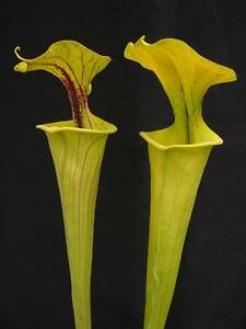 Carnivorous Sarracenia flava var flava, Boardwalk Site, Green Swamp, N. Carolina